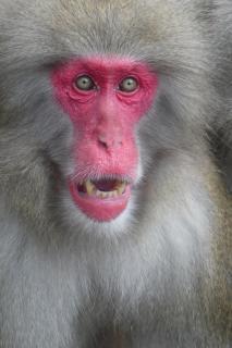 Affe, Wilde Tiere