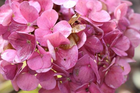 Insekt in einer Blüte der Hortensie