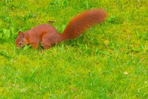 Eichhörnchen im Garten der Nachbarn