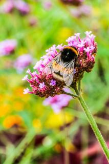 Hummel bei der Arbeit auf einer Blüte