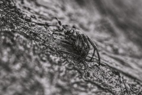 Spider B+W