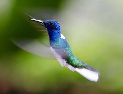 Kolibri im Anflug auf eine Blüte
