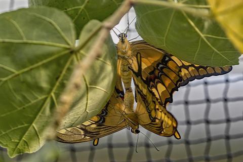 Schmetterling bei der Paarung