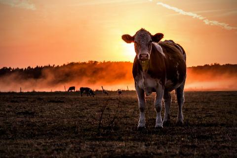 Eine Kuh macht....