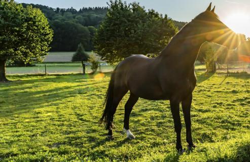Pferd im Sonnenuntergamg