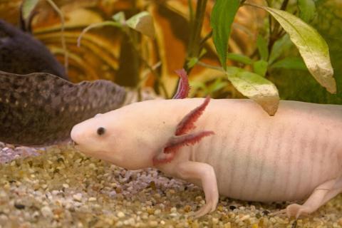 Unser Haustier ein Axolotl