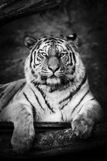 LF_Tiger