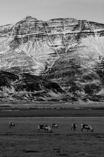 Rentiere auf Island
