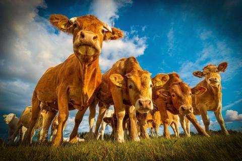 Rinder in der Abendsonne
