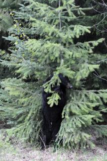 Sich kratzender Bär