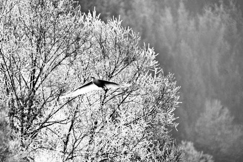Silberreiher im Winter