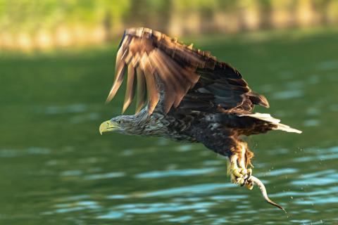 Seeadler Fischfang