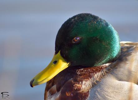 Portrait einer Ente