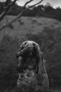Nachdenkliche Schimpanse