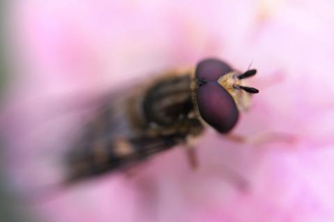 Schwebfliege pink Lady