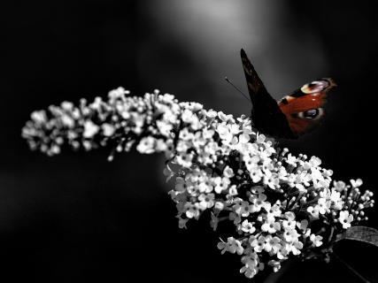 Pfauenauge auf Schmetterlingsflieder
