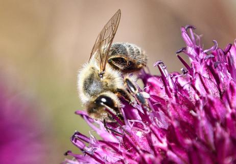 Biene auf Blüte 7608