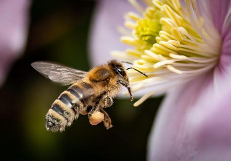 Biene an der Clematis