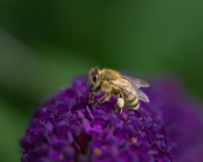 Honigbiene am Fliederstrauch