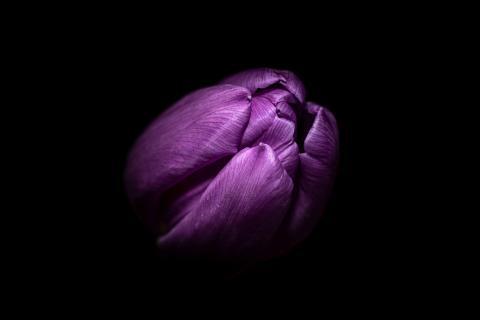 Porträt einer Tulpe