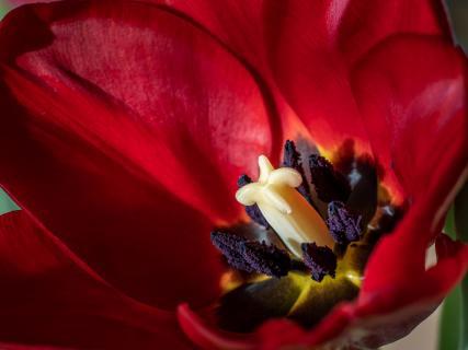 Tulpe ganz nah