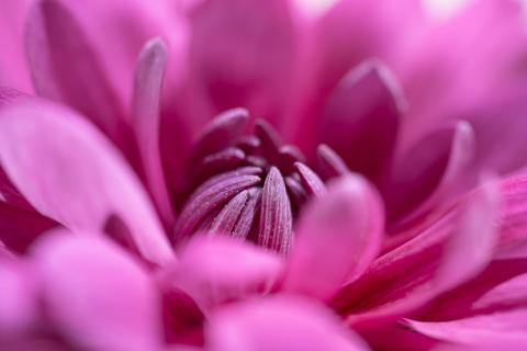 Chrysantheme in pink