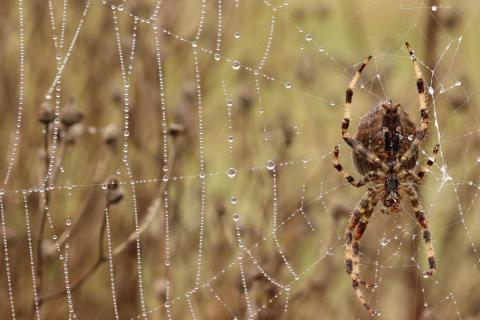 Spinne auf dem Jakobsweg