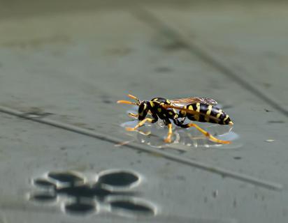 Wespe auf dem Wasser