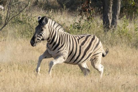 fröhliches Zebra