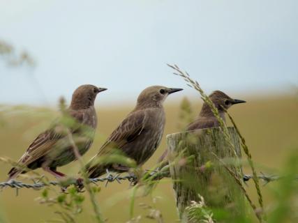 Starlings in the UK