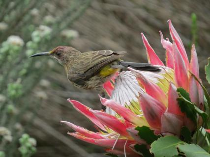 Birds of Kirstenbosch