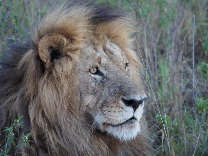 Löwe in Masai Mara