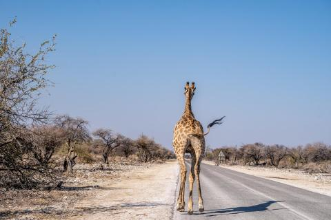 Giraffe 736231