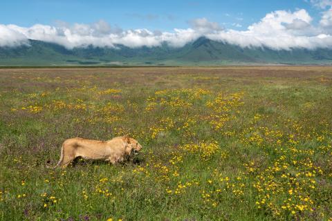 Streifzug eines Löwen im Ngorongoro Krater