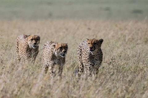 Gepardenbrüder auf derJagd