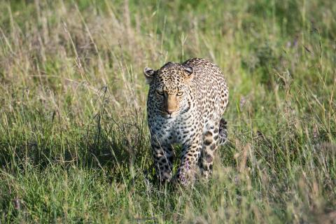 Leopard auf Wanderung