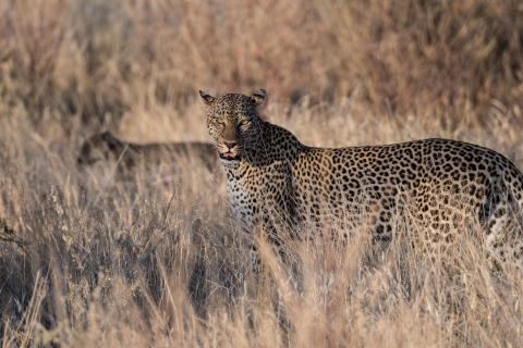 Leopardenmama mit Kind