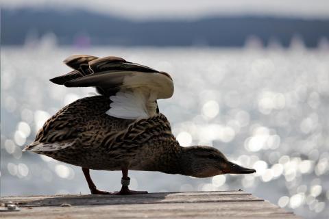 Ente auf dem Steg