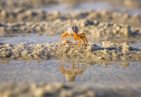 Einsame Krabbe auf Wanderung