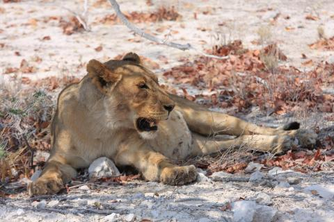 Löwin nach dem großen Fressen