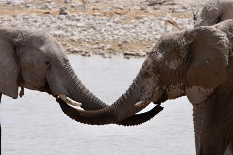 Schmusende Elefanten
