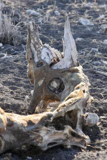 Bizarres Giraffenskelett in Namibia
