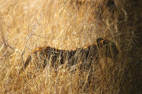 Simba im Gras