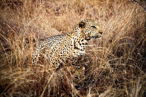 Leoparden Paarung