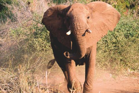 Wachsamer Elefant