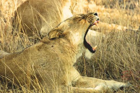 Die müde Löwin