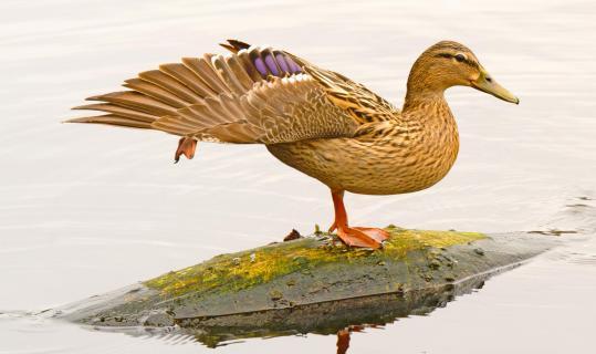 Balancierende Ente auf Baumstamm im See