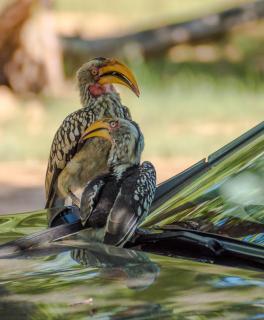 Freche Autobesetzer auf Safari