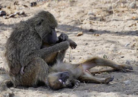 Mich laust der Affe...
