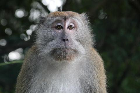 Makake auf Langkawi